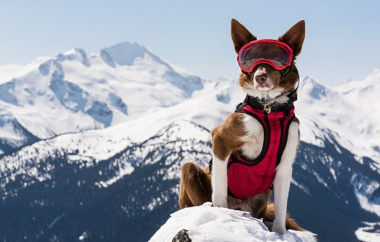 An avalanche rescue dog pictured against a backdrop of snowy mountains
