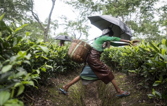 A woman jumps across a drainage ditch on the Monabarie Tea Estate, Assam