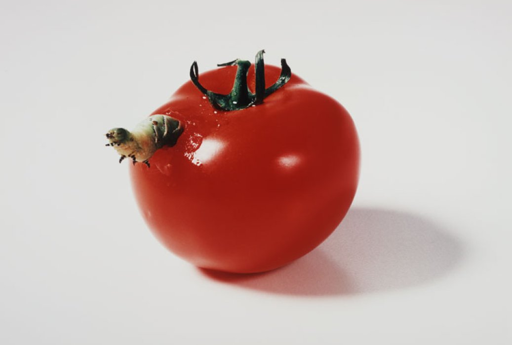 Caterpillar Eating a Tomato, 1998, Catherine Chalmers © Science Museum Group collection, courtesy of the artist