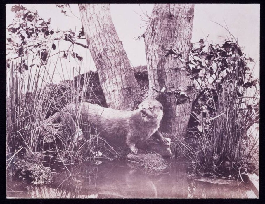 Otter, 1852, John Dillwyn Llewelyn © Science Museum Group collection