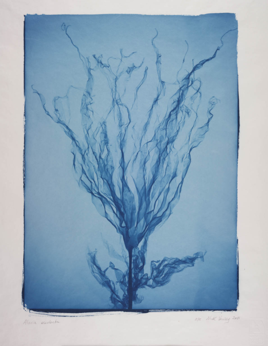 Alaria Esculenta (seaweed), Nick Veasey © Science Museum Group collection