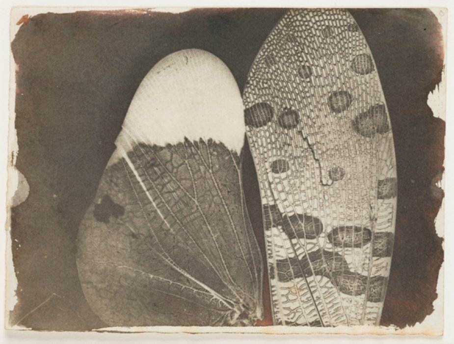 Insect Wings, as seen in a Solar Microscope, c.1840, William Henry Fox Talbot © Science Museum Group collection
