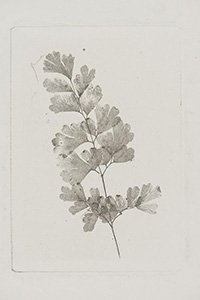 Photoglyphic engraving of fern